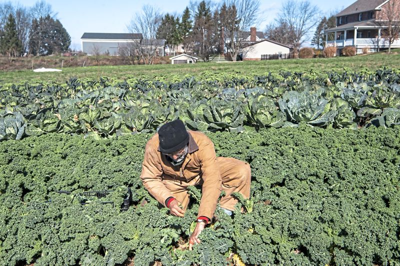 Photo from mcall.com, a farmer is tending to his crops